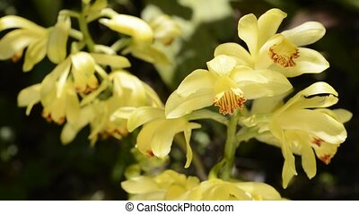 Bright yellow orchid flowers shining bathed in sunlight on...
