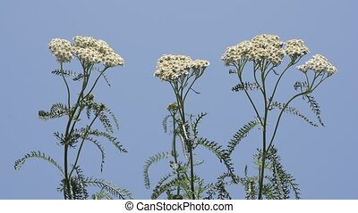 Upright yarrow flowers - Upright white yarrow flowers under...