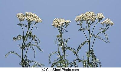 Upright yarrow flowers - Upright white yarrow flowers under...