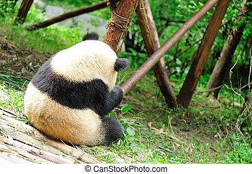 giant panda at chengdu, china