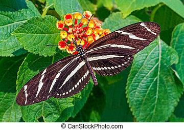 Zebra Longwing Butterfly - A zebra longwing with long black...