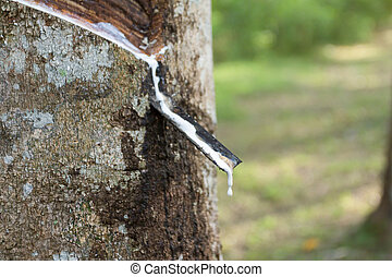 Latex of para rubber from rubber tree or Hevea brasiliensis...