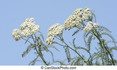 Yarrow blooming to the left - White yarrow blooming to the...