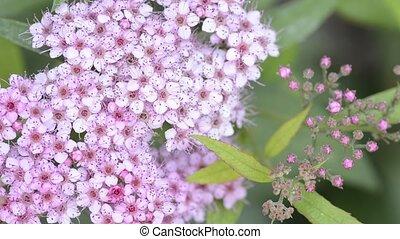 Japanese spirea flowers - Pink japanese spirea flowers...