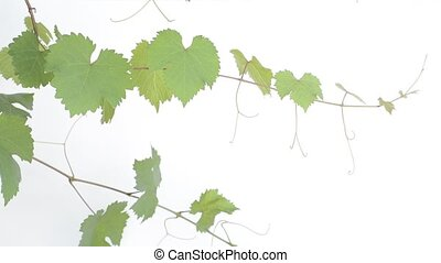 Leaves and vines of grape that grow sideways