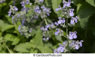 Cat mint flowers - Purple cat mint flowers in green leaves