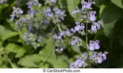 Cat mint flowers - Purple cat mint flowers in green leaves