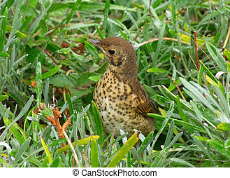 A cute young baby Song Thrush hiding in long grass