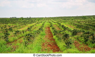 Industrial coffee tree plantation, farm, garden, Laos