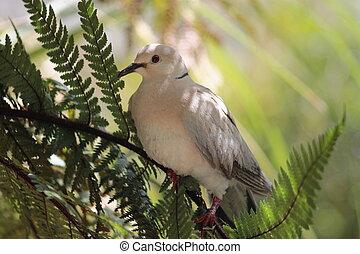 ringneck, Pomba, (Streptopelia, roseogr