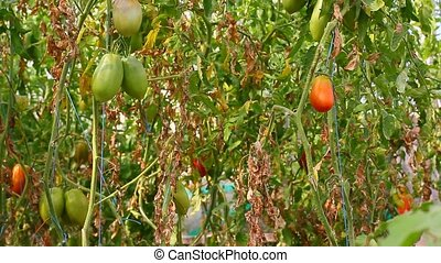 ripe tomatoes growing in the greenh