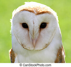 face of a white OWL  in the forest