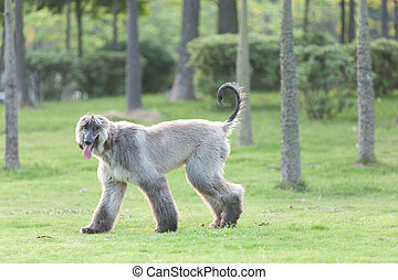 Afghan hound dog walking on the lawn