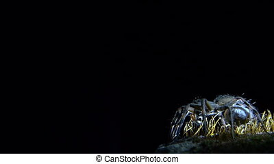 wolf spider at night - night wolf spider waiting for prey to...