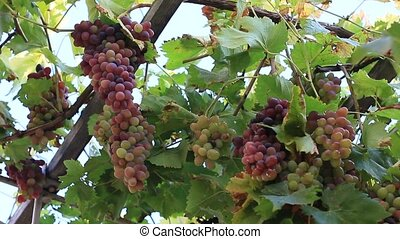 Cluster of wine grapes