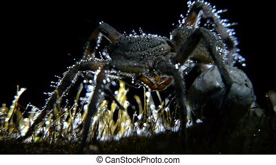 wolf spider with drops of dew, back-lit
