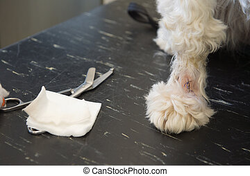 White dog with sutures at the veterinarian