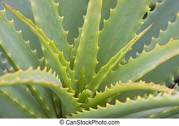 Aloe Vera - Close-up of an aloe vera plant