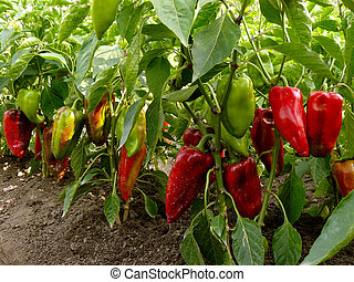 sweet peppers bed - sweet peppers growing in the garden
