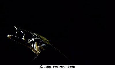 mantis at night - at night praying mantis devouring i