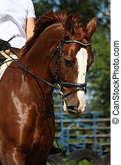 Portrait of chestnut sport horse with bridle