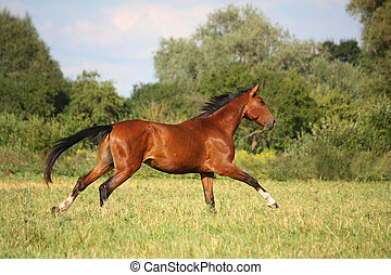 Beautiful bay horse running at the field - Beautiful bay...
