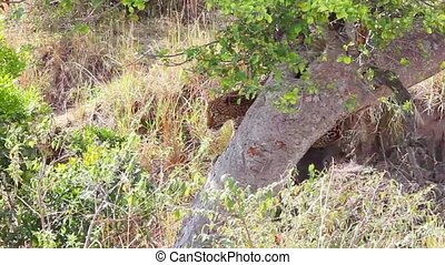Leopard on a tree - Jaguar descending from a tree Masai Mara...