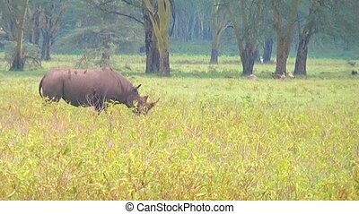 Rhino goes on savanna. - Black rhinos grazing on the field....
