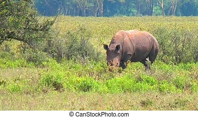Black Rhino Walking - Black rhinos grazing on the field