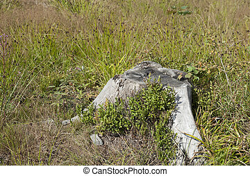 Solitaire stump on the meadow
