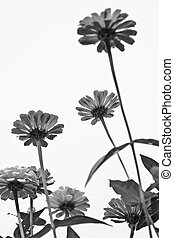 Zinnia elegans - Black and white Zinnia elegans blooming in...