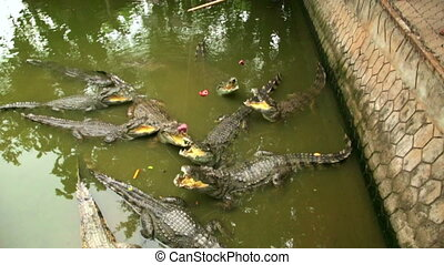 Tourist people feeding animal, Crocodile farm, vietnam