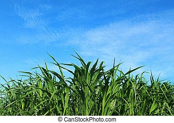 Green corn field on blue sky