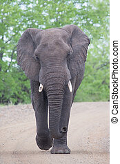 Angry and dangerous elephant bull charge along dirt road