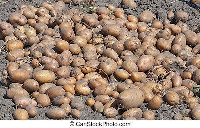 potato crop background in the garden