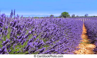 lavender in the landscape - lavender in south of France,...