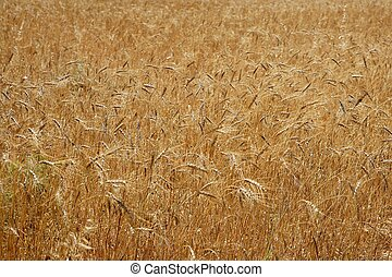 Golden yellow wheat cereal crop field texture in spring