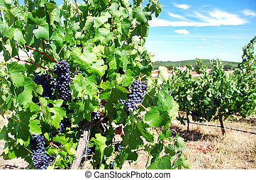 Grapes on vineyard, Alentejo,Portugal