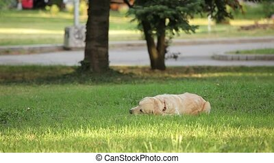 Golden retriever chewing stick in the park
