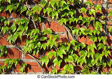Parthenocissus tricuspidata on a brick wall - Parthenocissus...