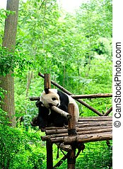 giant panda sleeping at forest