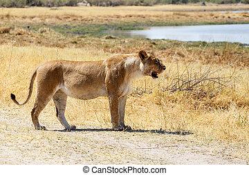Lion - Okavango Delta - Moremi NP - Lion at Okavango Delta -...