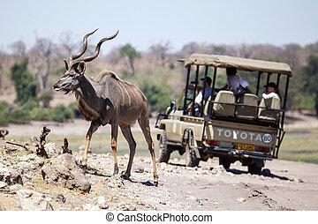Kudu - Chobe N.P. Botswana, Africa - Greater Male Kudu in...