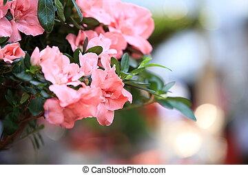 mauve azalea flower bloom