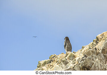 Humboldt penguin - Humboldt Penguin looking out on a rock on...