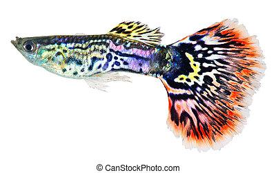 reticulata), peixe,  guppy,  (poecilia