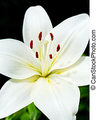 white flower of Lilium candidum (Madonna Lily) close up