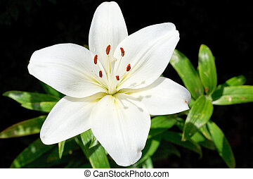 above view of white bloom Lilium candidum (Madonna Lily)...
