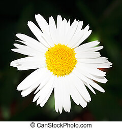 fresh Ox-eye daisy flower close up - decorative fresh Ox-eye...