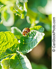ten-lined potato beetle eating potatoes leaves in garden